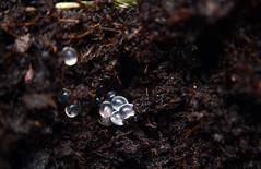 Huevos de Baboosa (Katsuhiro Rodrguez) Tags: insecto insect nature naturaleza huevos babosa