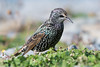 Starling (Shane Jones) Tags: starling bird gardenbird wildlife nature nikon d500 200400vr tc14eii