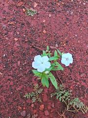 little new white one (Rodrigo Ribeiro) Tags: garden gardening jardim jardinagem nature natureza flor flower