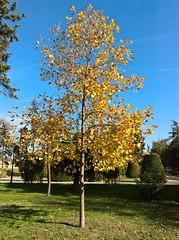 WP_20161020_10_59_11_Rich (vale 83) Tags: autumn tree kalemegdan belgrade serbia microsoft lumia 550 lunaphoto wpphoto wearejuxt thebestyellow colourartaward