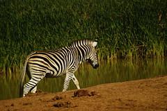 DSC03727 (Emily Hanley Photography) Tags: elephant elephants addo elephantpark nationalpark sa southafrica africa photography colour warthogs buffalo zebra waterhole rawimages raw nature naturalphotography animals animal