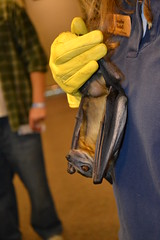 A straw-coloured fruit bat being held by Jennifer Redell,  a conservation biologist/cave and mine specialist with the Wisconsin Department of Natural Resources (USDAgov) Tags: fs forestry bats batweek conservation smokeybear wisconsin chequamegonnicoletnationalforest whitenosesyndrome education pollination agriculture food halloween bathouses