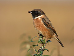 Stonechat (Peanut1371) Tags: stonechat chat bird brown nationalgeographicwildlife