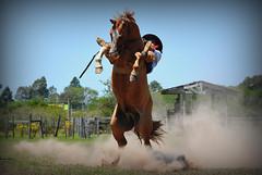 O Cabeludo (Eduardo Amorim) Tags: gacho gachos gaucho gauchos cavalos caballos horses chevaux cavalli pferde caballo horse cheval cavallo pferd crioulo criollo crioulos criollos cavalocrioulo cavaloscrioulos caballocriollo caballoscriollos pampa campanha fronteira bag riograndedosul brsil brasil sudamrica sdamerika suramrica amricadosul southamerica amriquedusud americameridionale amricadelsur americadelsud cavalo         hst hest hevonen  brazil eduardoamorim gineteada jineteada