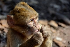 Macaque de Barbarie - Magot Ape, Azrou. (Olivier Simard Photographie) Tags: maroc atlas montagne singe azrou maghreb afrique animal macaquedebarbarie magot cercopithcids primate cdredelatlas cdregouraud fortdecdre ifrane espcemenace faune penseur macacasylvanus morocco mountain monkey africa barbarymacaque magotape barbaryape monkeys atlascedar cedargouraud cedarforest threatenedspecies wildlife thinker atlasmountains pelage fourrure coat fur photographieanimalire wildlifephotography wildlifephoto bbsinge babymonkey