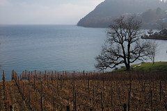 poetry at lake (picturesbywalther) Tags: lake spiez see poetry poesie leica vines reben landscape landschaft nature winter jahreszeit