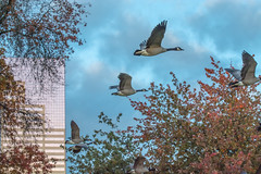 Angry Sky. (Omygodtom) Tags: weather street storm bird geese abstract animalplanet animal building wow outdoors scene science senery nature nikon natural d7100 nikon70300mmvrlens