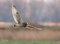 Low Pass (slsjourneys) Tags: owl shortearedowl