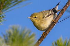 BJ8A3377-Blackpoll Warbler (tfells) Tags: blackpoll warbler nj newjersey mercer princeton migration bird nature songbird passerine