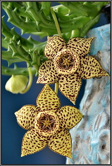 Orbea variegata (helkifoto) Tags: orbea orbeavariegata asclepia aasblume flower flor flora ordensstern