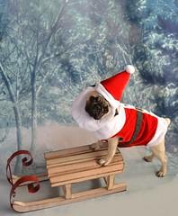 Christmas Santa Pug (DaPuglet) Tags: pug puppy christmas holiday santa winter dog costume cute pets pugs dogs animal animals pet santaclaus sleigh sled