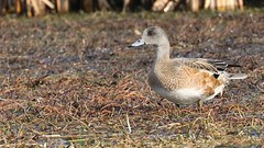 American Wigeon, juvenille (ricmcarthur) Tags: anasamericana wigeon americanwigeon baldpate duck marsh rondeau ricmcarthur rickmcarthur rondeauric