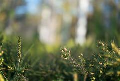 Pine branches against a blurry background (Ivan Radic) Tags: nikon1v1 nikon1nikkor32mmf12 nikon 1 nikkor 32mm f12 v1 blurrybackground pinebranches kiefernäste verschwommenerhintergrund bokeh unscharferhintergrund csc evil ilc mirrorless spiegellos systemkamera systemcamera