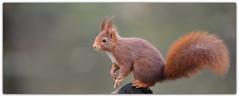Ecureuil roux (guiguid45) Tags: nature sauvage animaux mammifères forêt loiret d810 nikon 300mmf28 écureuil eurasianredsquirrel écureuilroux squirrel