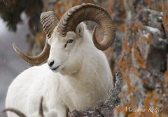 The Chief (Equinoxic) Tags: dall sheep ram chugach alaska mountain mammal nikon 200500 f56
