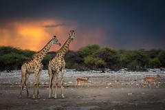 Giraffes at the waterhole on a stormy evening (Steven-CH) Tags: africa etosha safari etoshanationalpark travel namibia chudopwaterhole giraffe sunset thunderstorm canon namutoni clouds oshikotoregion na impala
