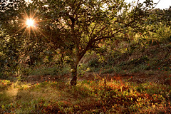 Amanece entre Manzanos /  Dawns among apple trees. (Beatriz-c) Tags: apple apples tree manzanas manzana arbol landscape paisaje sun sol sunlight amanecer dawn green red orange verde rojo naranja leaf hojas nature naturaleza