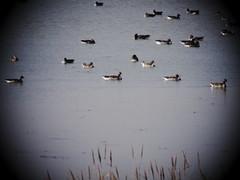 en el agua (corbetapalentino) Tags: laguna de la nava