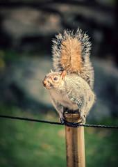 squirrel (A & A McKee) Tags: squirrel park holland autumn london animal uk england nikon d7200 85 18 bokeh cute