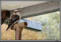 kookaburra (The_Jon_M) Tags: october 2016 oct october2016 blackpool zoo blackpoolzoo lancashire uk england animals kookaburra