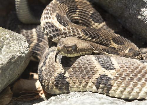 Timber Rattlesnake B 2