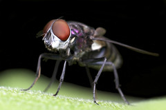 Brondel (Eric Gitonga) Tags: 32x48 fly ericgitonga kenya nature macro arthropods phylum kingdom arthropoda animal animalia segment segmented head abdomen legs mouth eyes compoundeye simpleeye instar exuvia moult exoskeleton grow develop misunderstood stinger sting egg fertilization sperm female male nairobi njathaini pickengardensestate northernbypass insect insecta thorax 6legs sixlegs wings flight crawl antenna