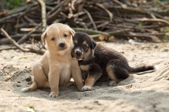 Village puppies in Barauli