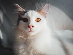 Chip (Garen M.) Tags: zuiko17mmf18 366project chip olympuspenf cats