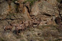 Rams Vaseux Lake, BC (cbaarch) Tags: vaseuxlakewildlifecentre okanagan californiabighornsheep britishcolumbia