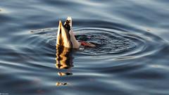 Funny Shadow (havans) Tags: duck eend shadow schaduw