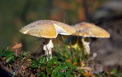 Booth's Rock toadstools (Thankful!) Tags: mushroom toadstool macro algonquinpark fall autumn