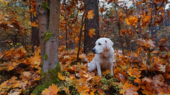 Golden Retriever in autumn forest (cl manuel) Tags: dog white golden retriever autumn forest leafs trees analogue analog