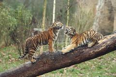 Arila and Makar (Noodles Photo) Tags: arila makar duisburg pantheratigrisaltaica tigercubs tierkinder tiger zooduisburg sugetier