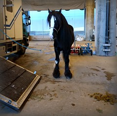 Oden. (Papa Razzi1) Tags: 8306 2016 333365 oden horse shire lg truck problem november winter xperiax