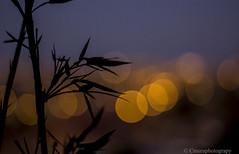 atardecer (Cmura) Tags: bambu bamboo sombras shadow bokeh bokehefect 50mm canon chile coquimbo luz contraluz color calido desenfoque atardecer sunset enfoque regióndecoquimbo 550dt2i t2i 550d