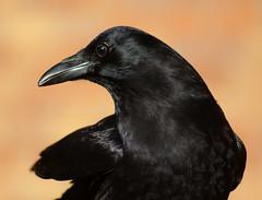 Crow friend (Old Mister Crow) Tags: crow corvid americancrow