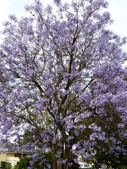 Jacaranda tree (suey_j) Tags: jacaranda flowering tree spring summer nature