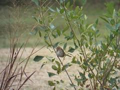 Song Sparrow, December 7 2016 (gurdonark) Tags: bird birds wildlife salmon park sachse texas song sparrow