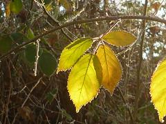 Von der Schönheit eines Brombeerblattes ... (Jörg Paul Kaspari) Tags: trier dezember winter frost rubus fruticosus rubusfruticosus blatt leaf herbstfärbung autumncolor