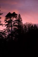 Sunset Benmore (Sybalan,) Tags: birds blueskies benmoregardens argyllandbute water wildlife westcoast woodland wild wood trees tranquility botanicalgardens cowal canon 760d mist outdoor ornithology landscape