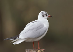 Black-headed-Gull-1551 (Kulama) Tags: blackheadedgull gull birds nature wildlife water sea winter canon7dmarkii sigma150600563c animals