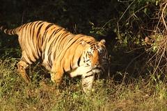 The challenger searching for Munna (Chandrasekhar Bhattacharya) Tags: tiger kanha forest kisli jungle royalbengaltiger