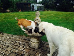 At the watering hole (KelJB) Tags: humorous cute funny largedog smalldog brownandwhitedog white goldenretriever terrier jackrussell drinking canine pets birdbath garden water dogs