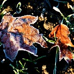 2016-12-27 Beaurepaire (45)frosted leaves thumbnail