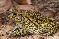 Sclerophrys garmani - Eastern Olive Toad. (Tyrone Ping) Tags: sclerophrys garmani eastern olive toad tyroneping wwwtyronepingcoza frog frogs amphibians amphibian amazing canon canon7d 100mmmacrof28 mt24ex wild wildherps close up macro