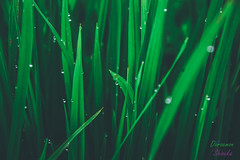_DSC0594-2 (ricco_stf) Tags: morning picture pictureoftheday sawah photograph nikon lightroom adobelightroom