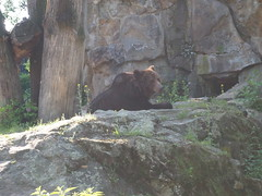 Bear in Berlin Zoo (jennygriffiths1) Tags: bear brown berlin zoo