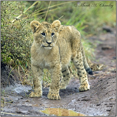The New Prince of NNP! (MAC's Wild Pixels) Tags: baby male nairobi ngc lion lioncub coth nairobinationalpark supershot nairobikenya goldwildlife fabuleuse alittlebeauty coth5 hganimalsonly allnaturesparadise 5wonderwall sunrays5 macswildpixels