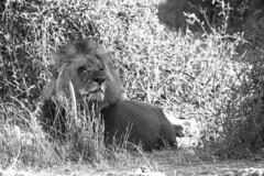 The Lion (Andrea Bargi) Tags: life africa park sunset wild nature animal canon mark andrea lion sigma delta natura 150 safari national ii panoramica 5d botswana leone chobe animali okavango libert landscope savana liberi bargi