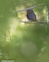 Varpuspöllö (mattisj) Tags: birds aves eläimet strigiformes fåglar linnut strigidae glaucidiumpasserinum eurasianpygmyowl pöllöt varpuspöllö sparvuggla pöllölinnut